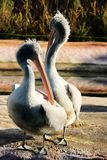 Pelicans. Two pelicans in the zoo royalty free stock image