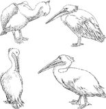Pelicans. Vector drawing of the pelicans in a zoo Royalty Free Stock Photos