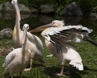 Pelicans. Vertical photo of three pelicans stock photos