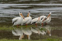Pelicans Wade in Shallow Lake Waters stock photos