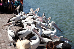 Pelicans waiting for fish Royalty Free Stock Photos