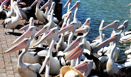 Pelicans waiting for fish Stock Photography