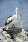 Pelicans waiting to be fed, Kangaroo Island Royalty Free Stock Images