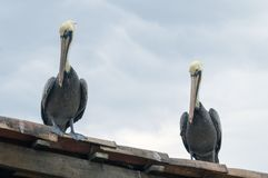 Pelicans Waiting and Watching for Lunch Royalty Free Stock Images