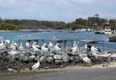 Pelicans on Wallace Lakes stock photos