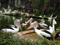 Pelicans. Was talking each other stock photo
