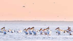 Pelicans in water royalty free stock photos