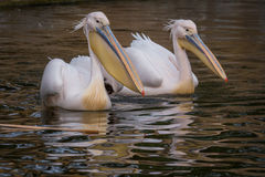 Pelicans in water Stock Image