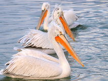 Pelicans in water. Three pelicans in the water stock photos