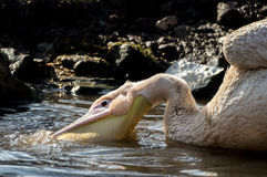 Pelicans on water Stock Photos