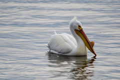 Pelicans on the Water. Pelicans in the water fishing for food royalty free stock images