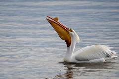 Pelicans on the Water. Pelicans in the water fishing for food royalty free stock photo