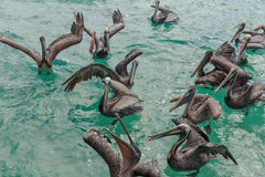 Pelicans in the water. Pelicans looking for handouts from local fisherman on Isla Mujeres, Mexico stock images