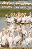 Pelicans by the water. With some more pelicans in the middle ground and some flamingos in the distance at lake Nakuru in Kenya Stock Images
