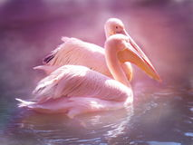 Pelicans on water Royalty Free Stock Photos