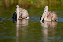 Pelicans on the water. Two pelicans on the water with a reflection royalty free stock photography
