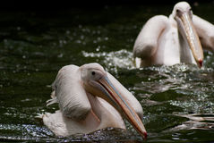 Pelicans in water Royalty Free Stock Images