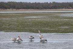 Pelicans in a waterway. In NSW Australia royalty free stock photo
