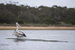 Pelicans in a waterway. In NSW Australia royalty free stock photos