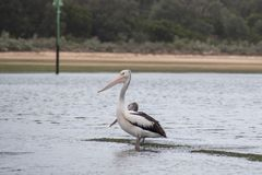 Pelicans in a waterway. In NSW Australia royalty free stock photography