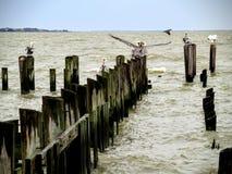 Pelicans on weathered dock pilings. Pelicans commiserating on weathered dock piling posts Stock Image