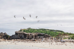 Pelicans of Western Australia. Nesting Australian Pelicans in flight and on a remote Indian Ocean island beach with pied cormorants, sea lion and vegetated royalty free stock photography