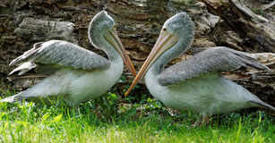 Pelicans who play together. In the middle of a hot and sunny day Stock Photography