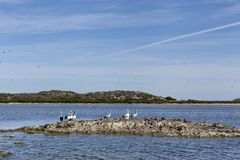 Pelicans in the wild along the Coorong area of South Australia. Wild Pelicans in the wild along the Coorong area of South Australia stock photos