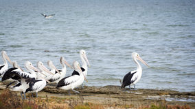 Pelicans. In the wild along the Coorong area of South Australia royalty free stock image