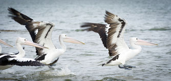 Pelicans. In the wild along the Coorong area of South Australia stock photo