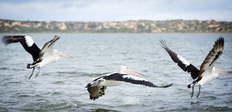 Pelicans. In the wild along the Coorong area of South Australia royalty free stock photos