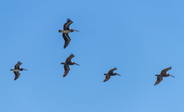 Pelicans on Wing. A flight of Pacific Brown Pelicans flying in formation royalty free stock photography