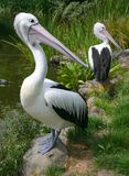 Pelicans wonder. Two pelicans looking in the same direction stock images