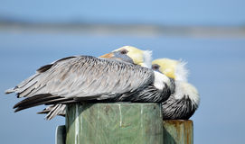 Pelicans on wooden posts Stock Images