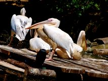 Pelicans at zoo Royalty Free Stock Images