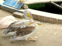 Pelicans. At the Zoo of Bucharest, Romania Stock Images