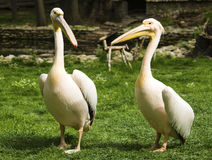 Pelicans in zoo Royalty Free Stock Photography