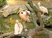 Pelicans in a Zoo Royalty Free Stock Photos