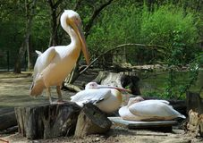 Pelicans in ZOO of Jihlava in Czech republic Stock Photos