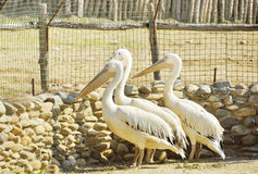 Pelicans in a zoo on open air Royalty Free Stock Images