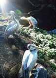 Pelicans in zoo. Pelicans are big beautiful birds royalty free stock photo