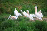 Pelicans in Zoo white pelikan on green Royalty Free Stock Photos