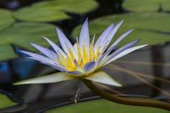PelicansBlue Lotus av Egypten (nymphaeaen Caerulea) Arkivbild