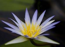 PelicansBlue Lotus av Egypten (nymphaeaen Caerulea) Royaltyfri Fotografi
