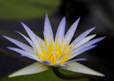 PelicansBlue Lotus Egipt (Nymphaea Caerulea) Fotografia Royalty Free