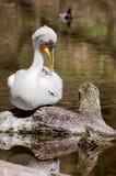Pelicanus Photo libre de droits