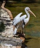 Pelicanus Stock Images