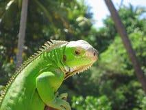 Peligro de observación de la iguana Fotografía de archivo libre de regalías