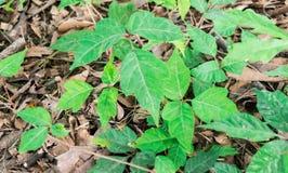 Peligro en la tierra - hojas de la hiedra del Tres-veneno Foto de archivo libre de regalías