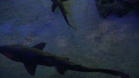peligroso El tiburón nada a la derecha bajo sus pies almacen de video